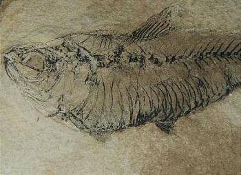 Prehistoric fish fossil, collected by my grandfather.