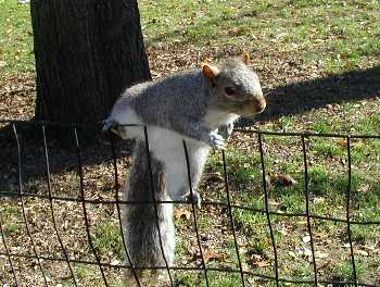 A squirrel crests a thin fence, and looks about himself.